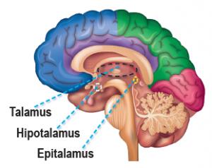 Ara beynin bölümleri