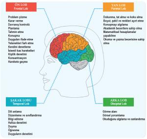 Beynin lobları ve görevleri