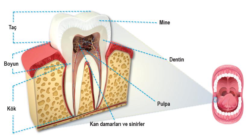 Dişin bölümleri