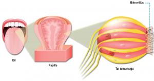 Dil ve tat alma reseptörleri