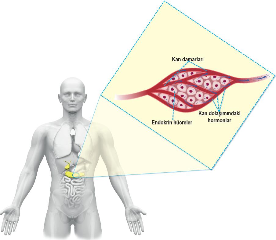 Endokrin bez ve kan damarları