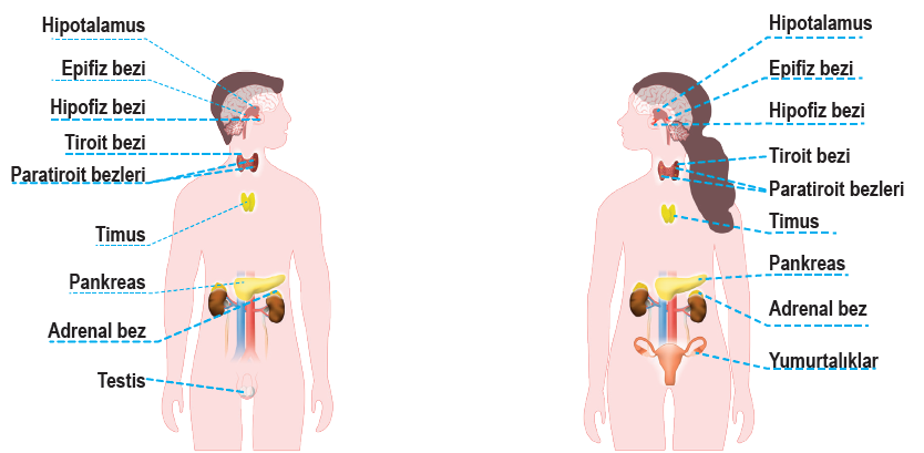 A petefészek endokrin rákja, 7 hormon, aminek a működését minden nőnek értenie kell