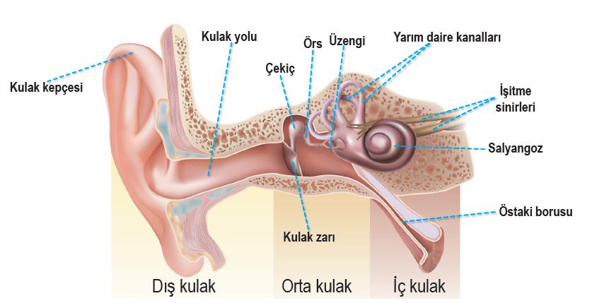 Kulağın yapısı