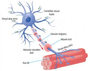 Motor nörondan kas lifine impulsun iletimi