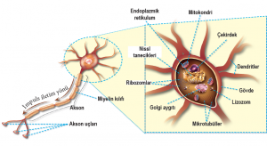 Nöron ve nöron hücre gövdesi kısımları