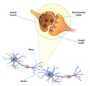 Nöronlar arasındaki sinaps