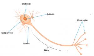 Nöronun yapısı