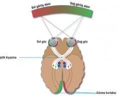 Optik kiyazma ve görme sinirlerinin organizasyonu