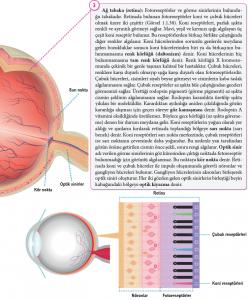 Retinanın yapısı