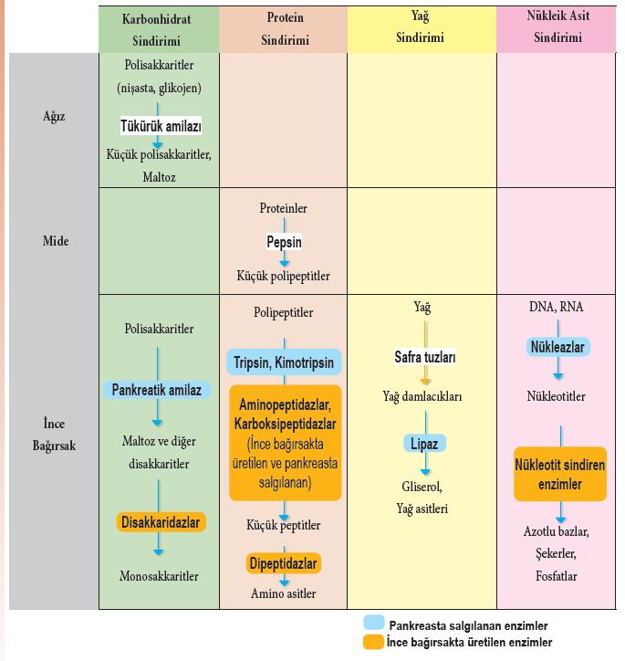 Sindirim Enzimleri ve Etki Ettikleri Maddeler