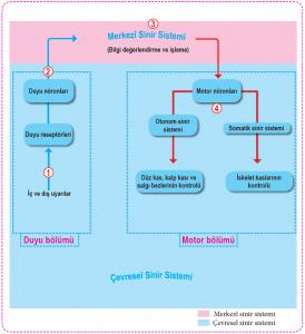 Sinir Sisteminin İşleyiş Mekanizması