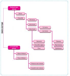 Sinir Sisteminin Bölümleri