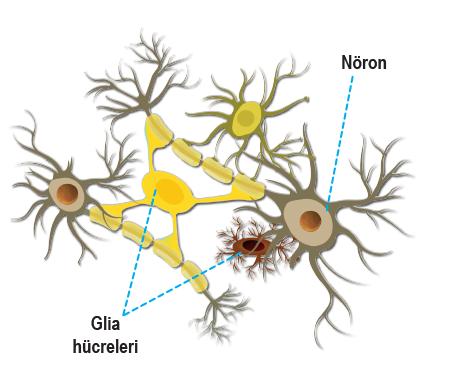 Sinir hücreleri ve yardımcı hücreler