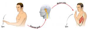 Sinir sisteminde nöronların işleyişi