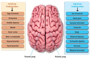 Uç beynin fonksiyonları