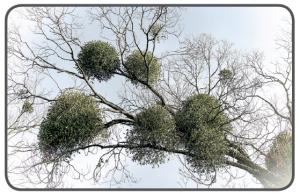 Ağaç dalları üzerinde yarı parazit ökse otu