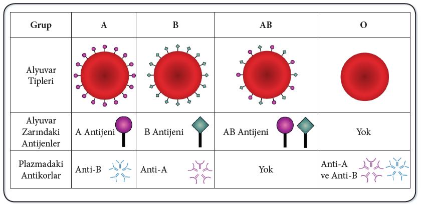 ABO Kan Grubu Sistemi Antijen ve Antikorları
