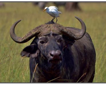 Afrika mandası ile kommensal ilişki kuran sığır balıkçılı