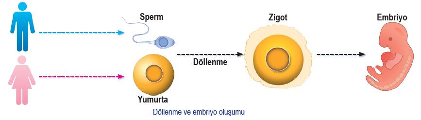Döllenme ve embriyo oluşumu