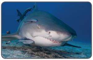 Köpek balığı ve Remora balıkları arasında kommensal ilişki