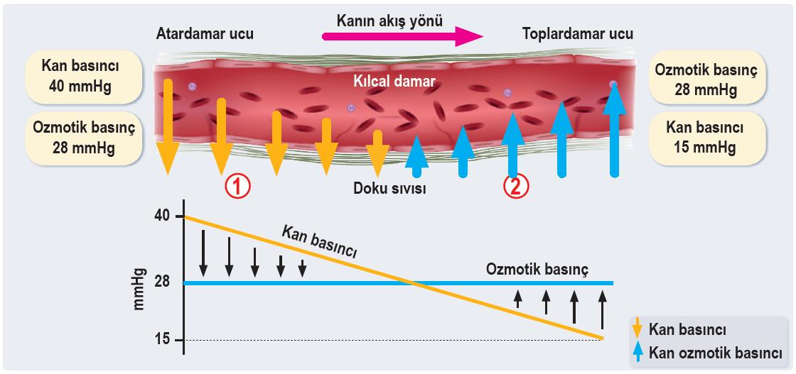 Kılcal damarlar ile doku sıvısı arasında net madde geçişi