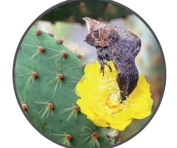 Kaktüs nektarıyla beslenen ispinoz