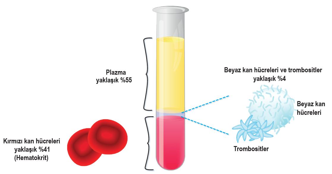 Kanın içeriği