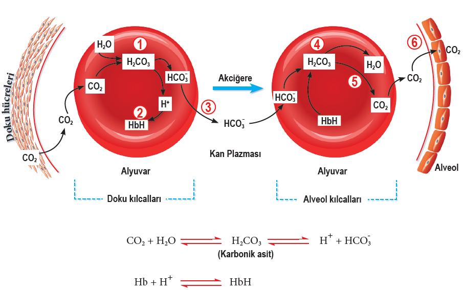 Karbondioksidin kanda taşınması