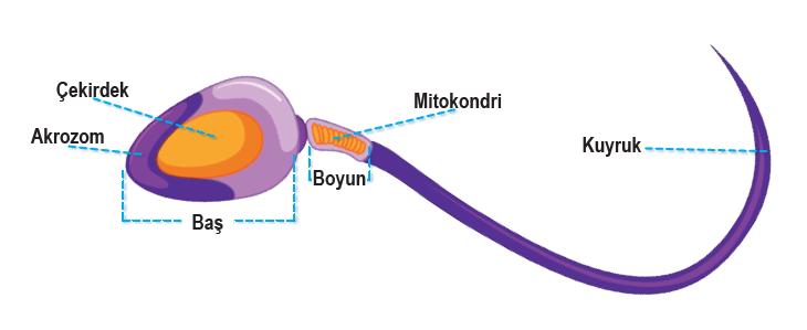 Spermin yapısı