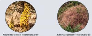 Tam parazit bitki örnekleri